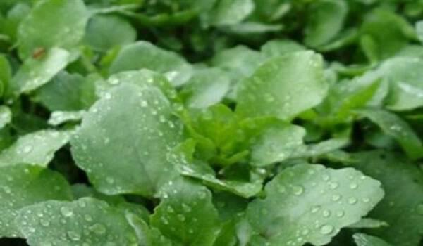 Είναι το πιο υγιεινό λαχανικό στον κόσμο κι όμως…κανείς δεν το τρώει! Απίστευτα τα οφέλη του