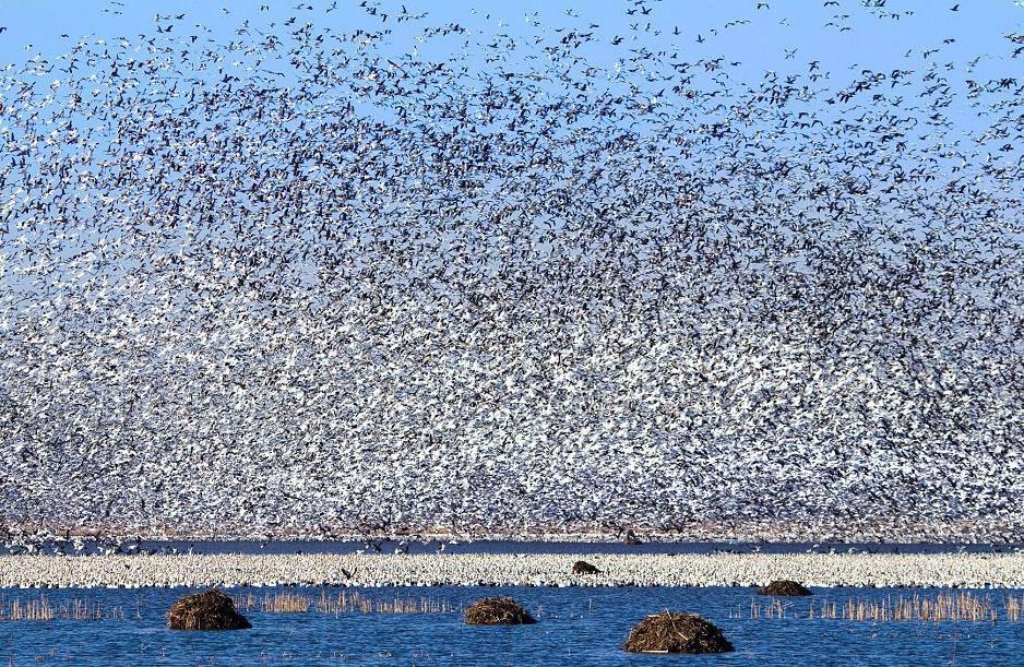 tilestwra.com | Η μαζική φυγή 1,3 εκατομμυρίων χηνών σε εκπληκτικές φωτογραφίες!