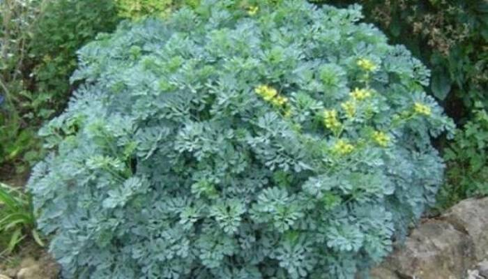 Το φυτό που διώχνει τη γρουσουζιά, τη γλωσσοφαγιά και το κακό μάτι!