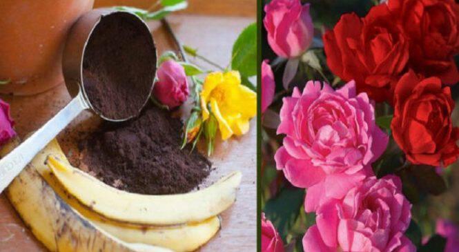 Με τις Φλούδες της Μπανάνας & το Κατακάθι του Καφέ θα Γεμίσει η Αυλή σας Τριαντάφυλλα! Πώς να τα Χρησιμοποιήσετε!