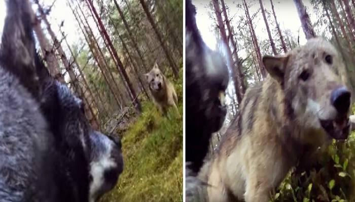 Σκύλος έδωσε μάχη με δύο λύκους για να σώσει το αφεντικό του