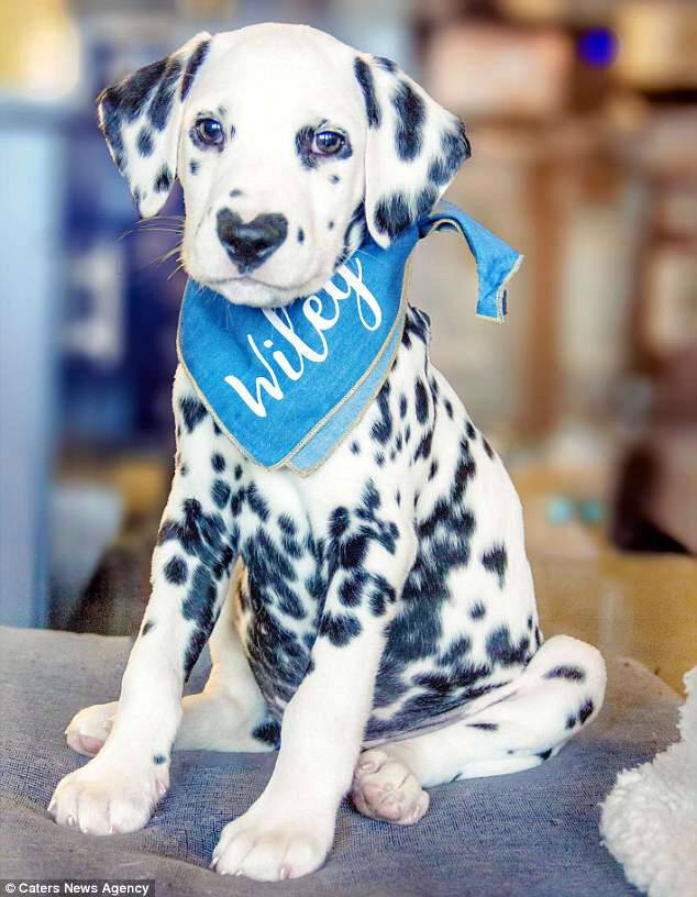 Heartbreaker: Wiley the Dalmatian is only 12 weeks old but already has thousands of fans on Instagram thanks to its unusual spot pattern on its nose